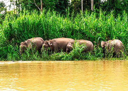 Elefanter langs Kinabatangan floden på Borneo