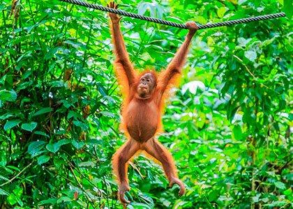 En vild orangutan på Borneo